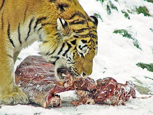 Рассказ о сибирском егере и его жизни и охотничьим делам