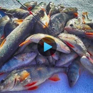 Видео о ловле окуня по первому льду