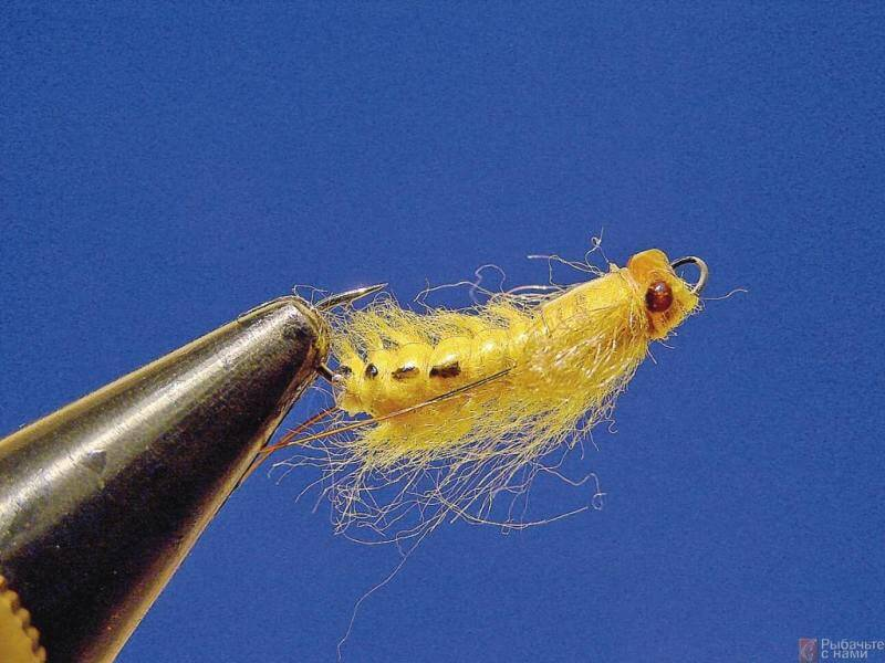 Yellow Daemon Pupa