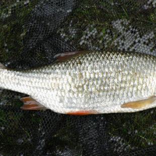 Диалоги о рыбалке №90. Плотва