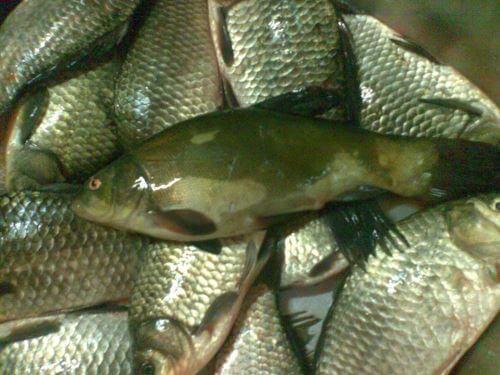 Какая рыба водится в Екатеринбурге
