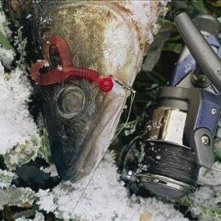 Советы по ловле хищника зимой
