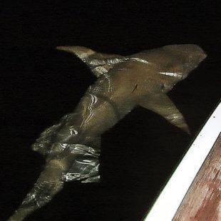 Акула по-турецки