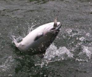 Блесна для ловли чавычи
