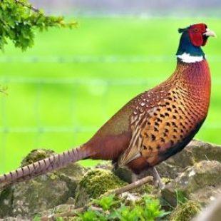 Охота на фазана ловушками