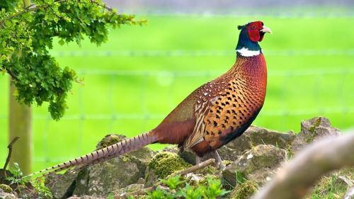 Как поймать и приготовить фазана