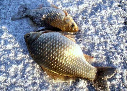 Советы о ловле карася зимой