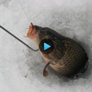 Видео о том как поймать карпа зимой