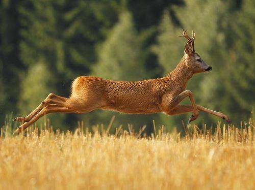 Охота на косулю в Польше в заповеднике Спала