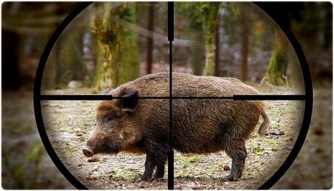 Кабан в прицеле охотника
