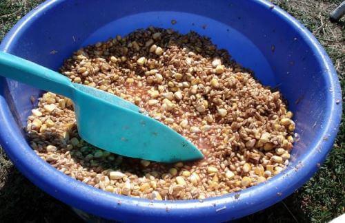 Замоченная кукуруза как карповая наживка