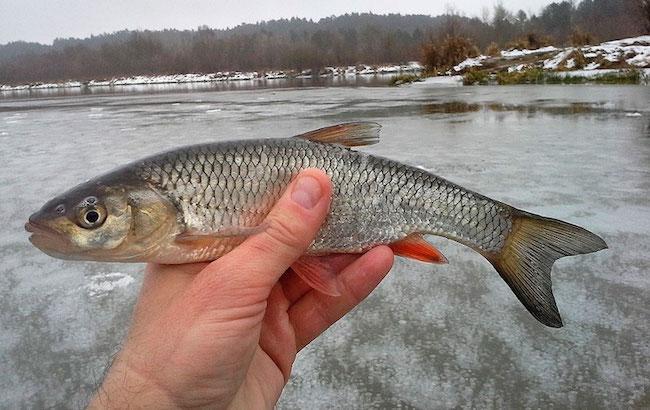 Пойманый голавль в руках рыбака