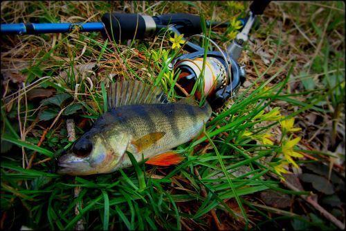 Спиннинг для ловли окуня на отводной поводок