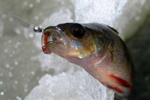 Как ловить окуня со льда на мормышку