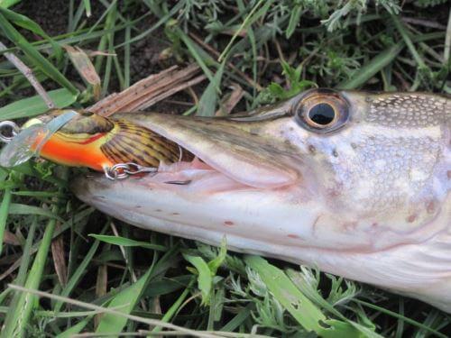 какая рыба клюет в августе в астрахани