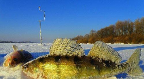 Ловля судака на живца зимой
