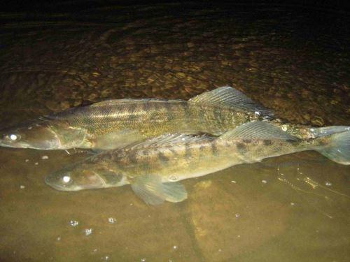 Ловля судака в сентябре ночью