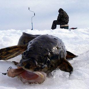 Рыбалка на налима со стукалкой
