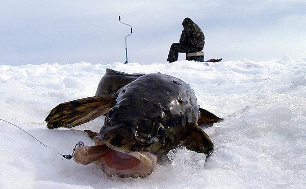 Ловля налима на стукалку зимой со льда в ноябре, декабре, январе и феврале