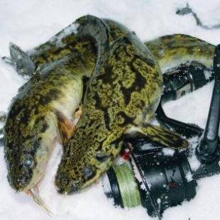 Ловля налима зимой