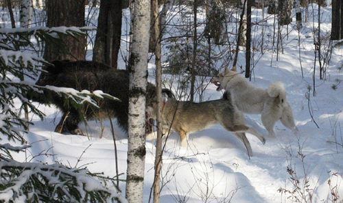 Особенности охоты и её последовательность
