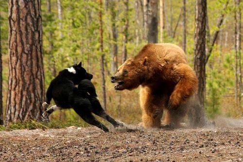 Традиционная русская охота на медведя: снаряжение и экипировка