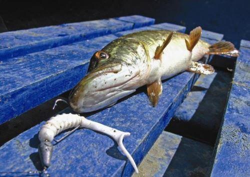 Вкусовые предпочтения рыбы