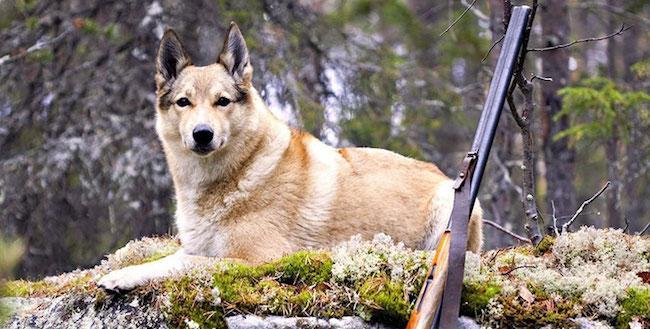 Собака на охоте возле ружья