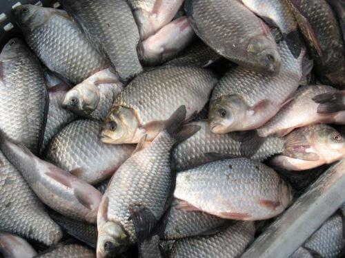 Какая рыба водится в Балашихе