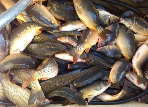 Какая рыба водится вБелгородской области