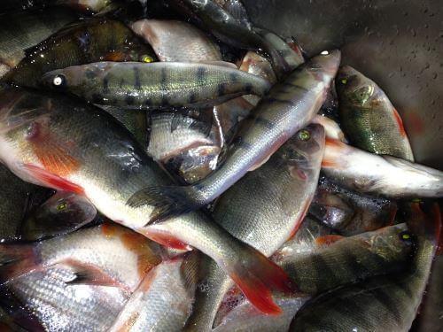 Какая рыба водится в Калининградской области
