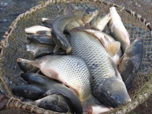Какая рыба водится в Нижнем Новгороде