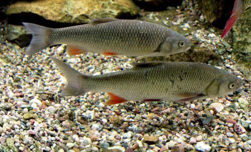 Какая рыба водится в Пскове