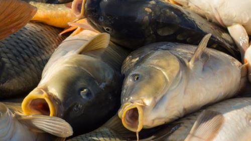 Какая рыба водится вЯрославле