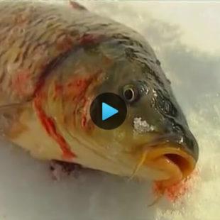 Видео о ловле карпа зимой