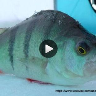 Видео о зимней ловле окуня на балансир