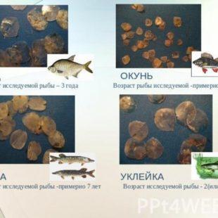 Учимся определять сколько рыбе лет