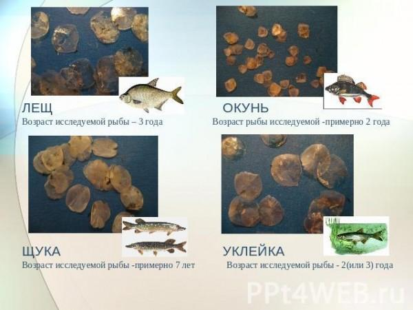 Как определить возраст рыбы